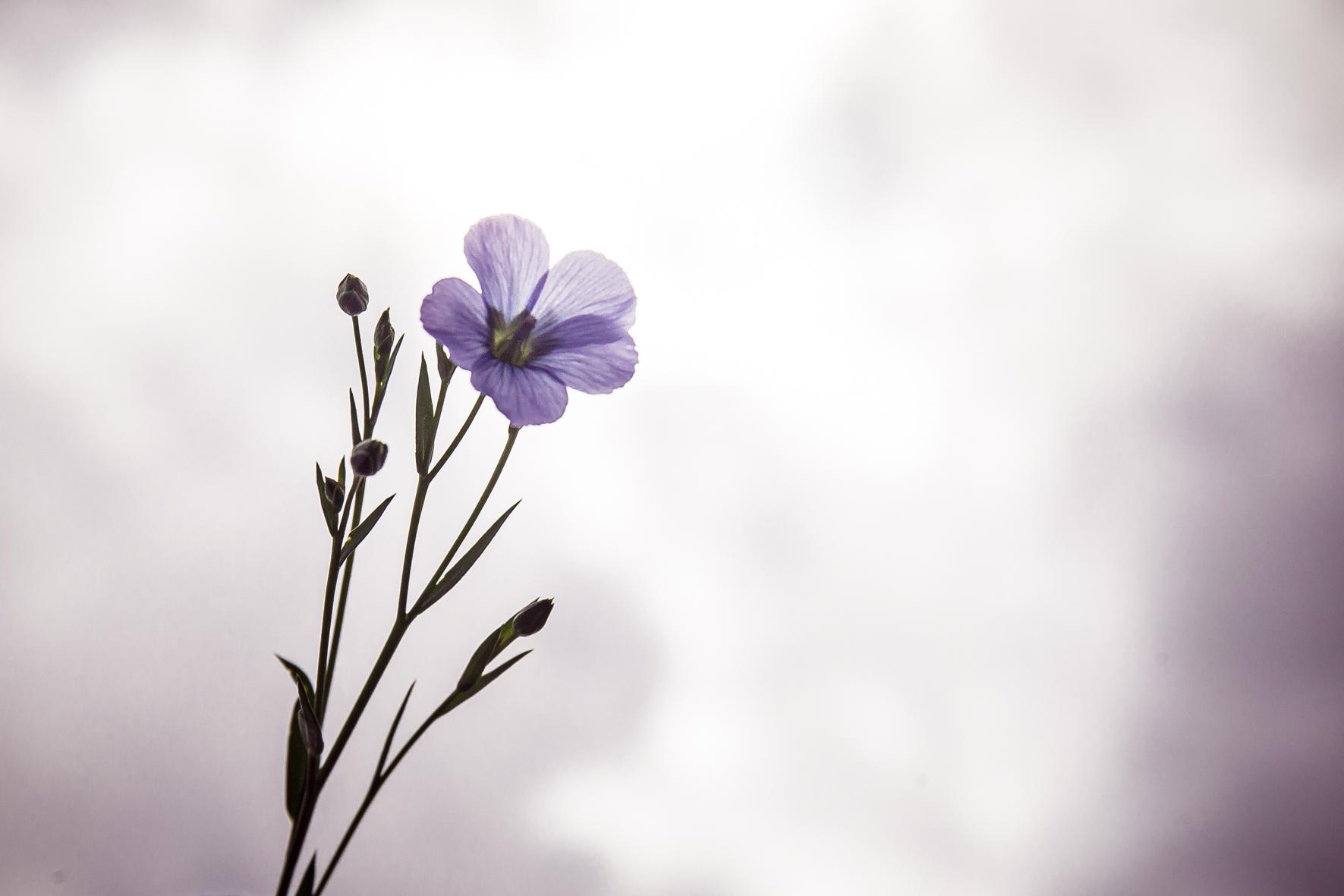 Fleur de lin Hélène Thierry